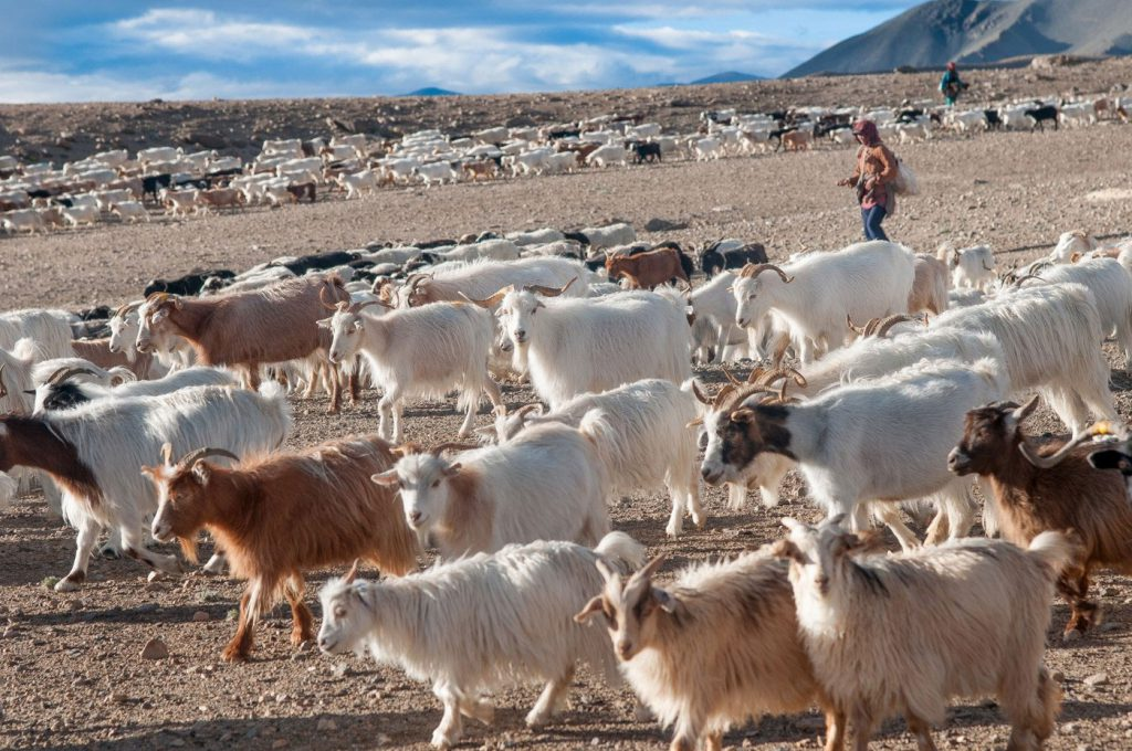 A sneak peek into Changpa Life-The trail of India's Cashmere goat men