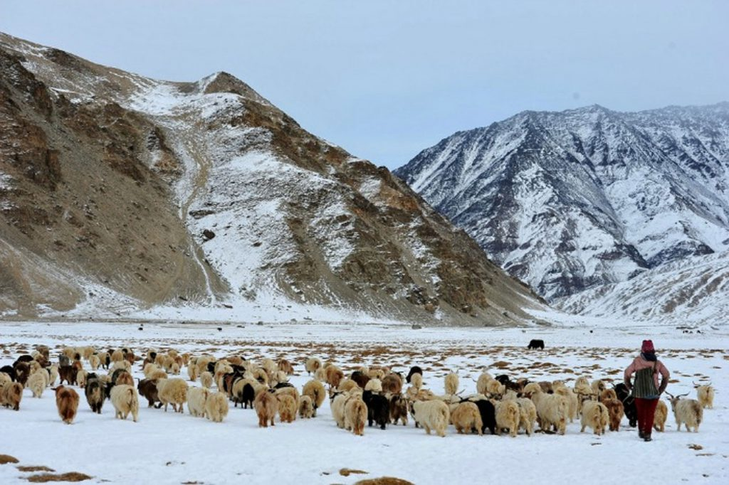 stunning land of Ladakh - All you need to know about the Pashm fibre