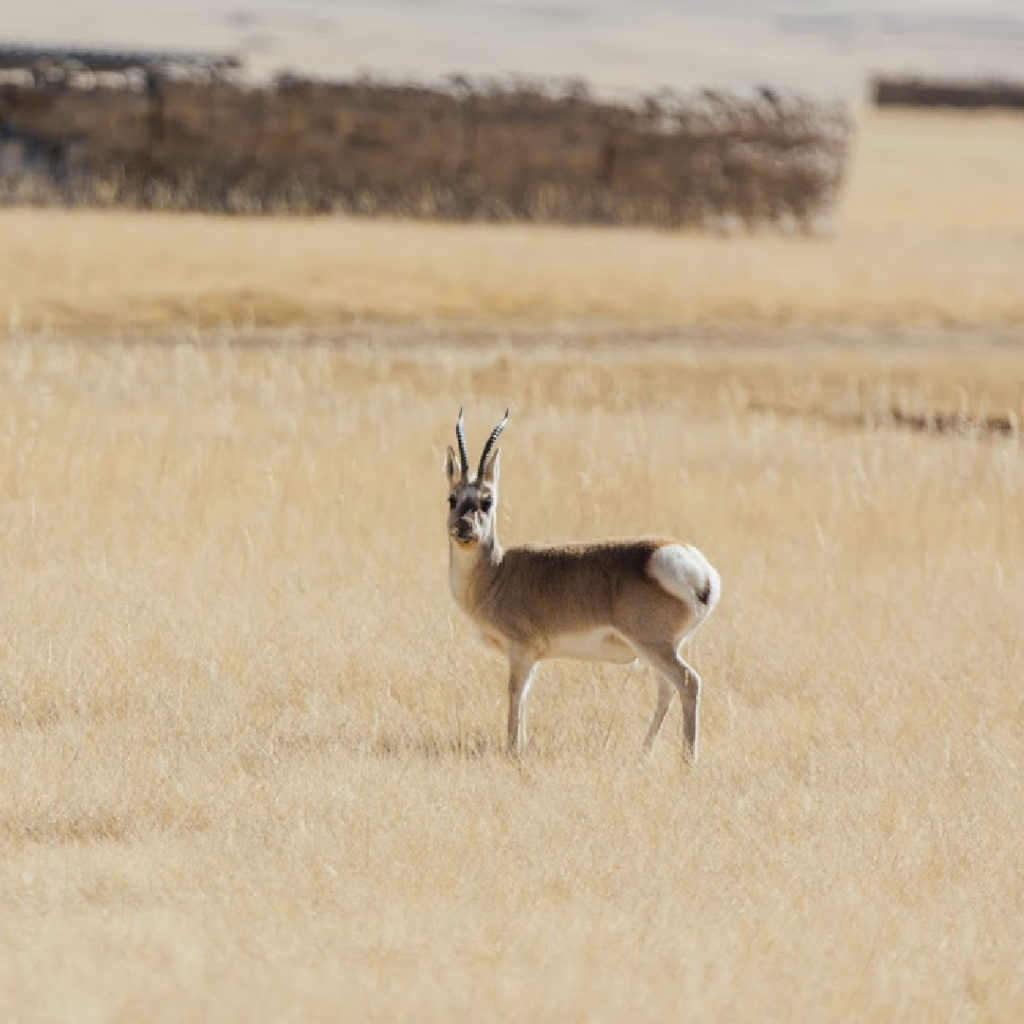 Chiru - The Tibetan Antelope