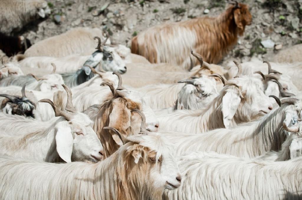 Cashmere goats - Vegan Pashmina